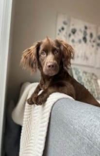 long haired daschund named coco