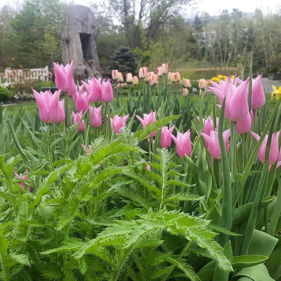 tulips at Botanic Gardens