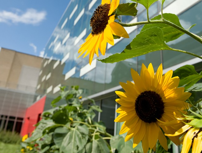sunflowers in terrace courtyard