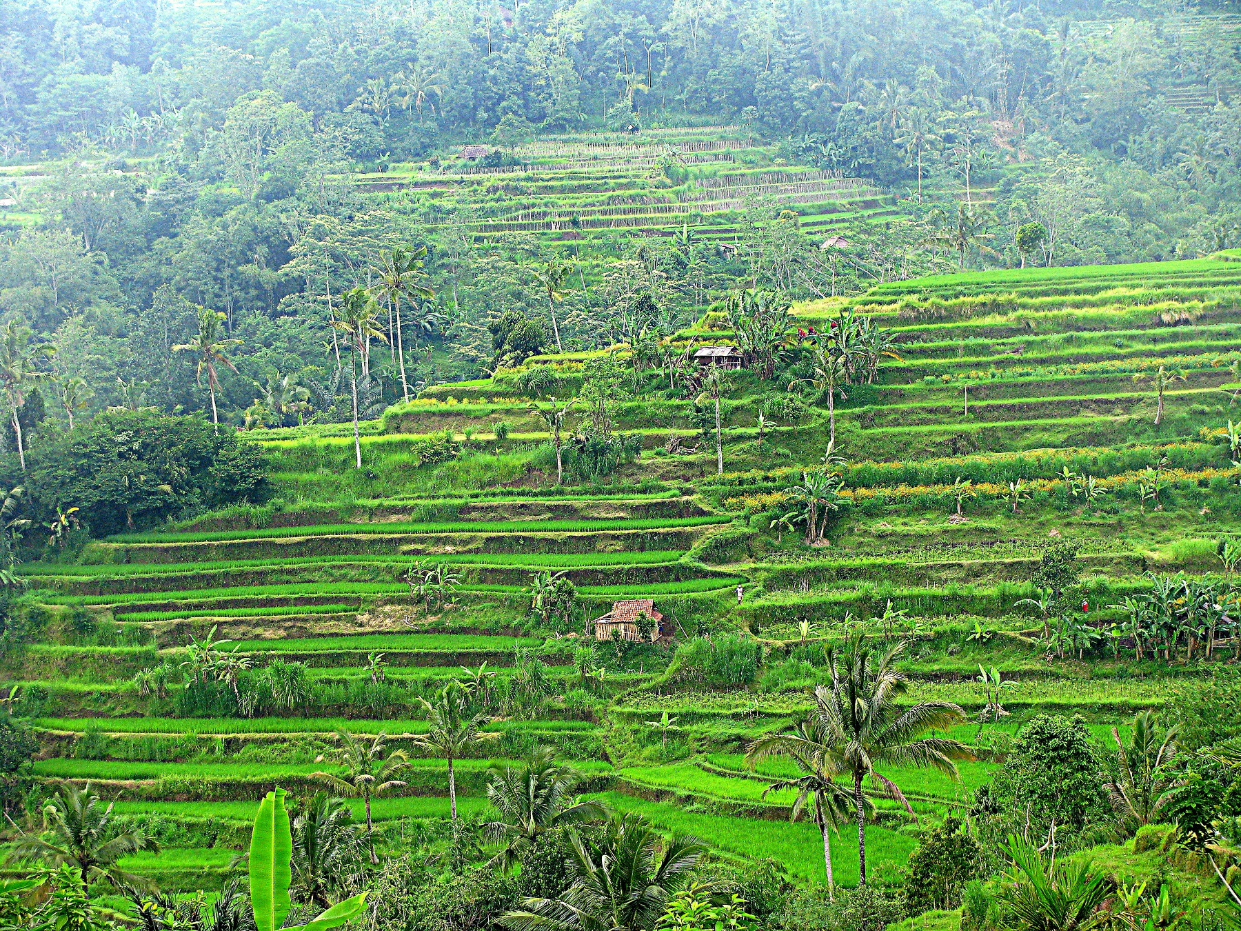 terraced rice fields in indonesia